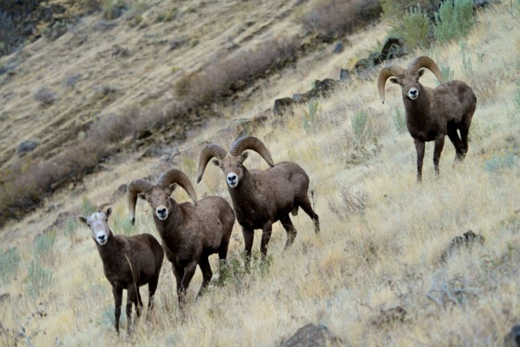 bighorn sheep wallpaper