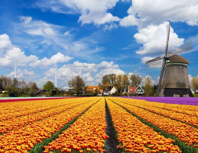 tulip fields tulips field flower flowers windmill wallpaper