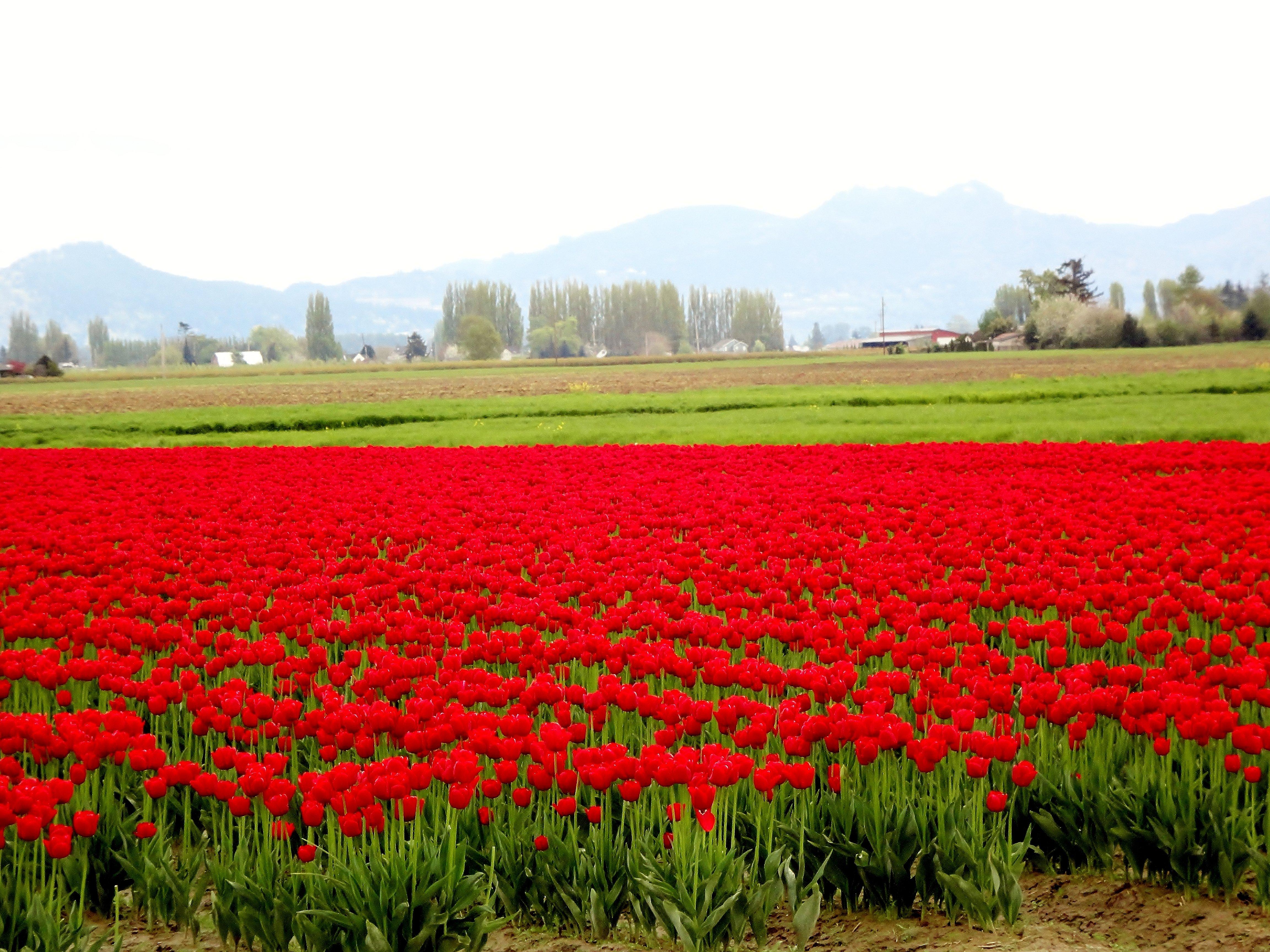 Tulip Fields Tulips Field Flower Flowers Wallpaper 4608x3456 428144 Wallpaperup