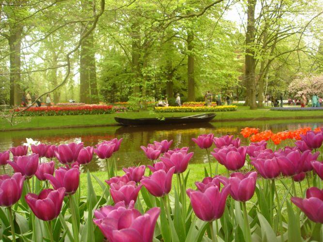 tulip fields tulips field flower flowers wallpaper