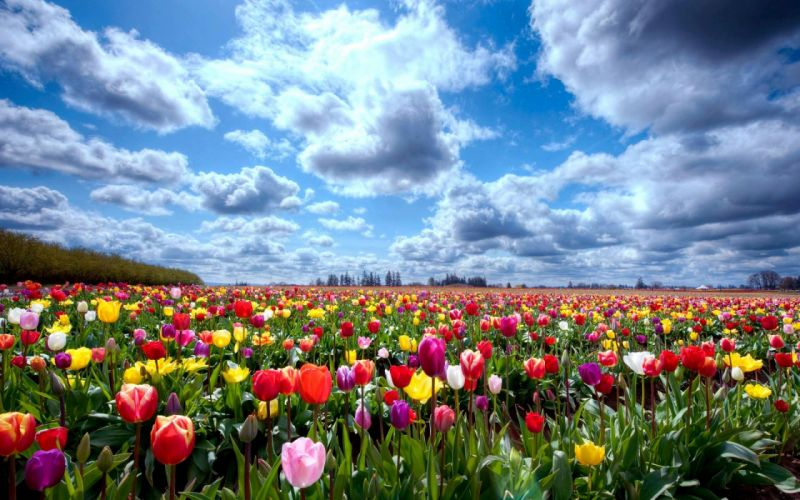 tulip fields tulips field flower flowers wallpaper