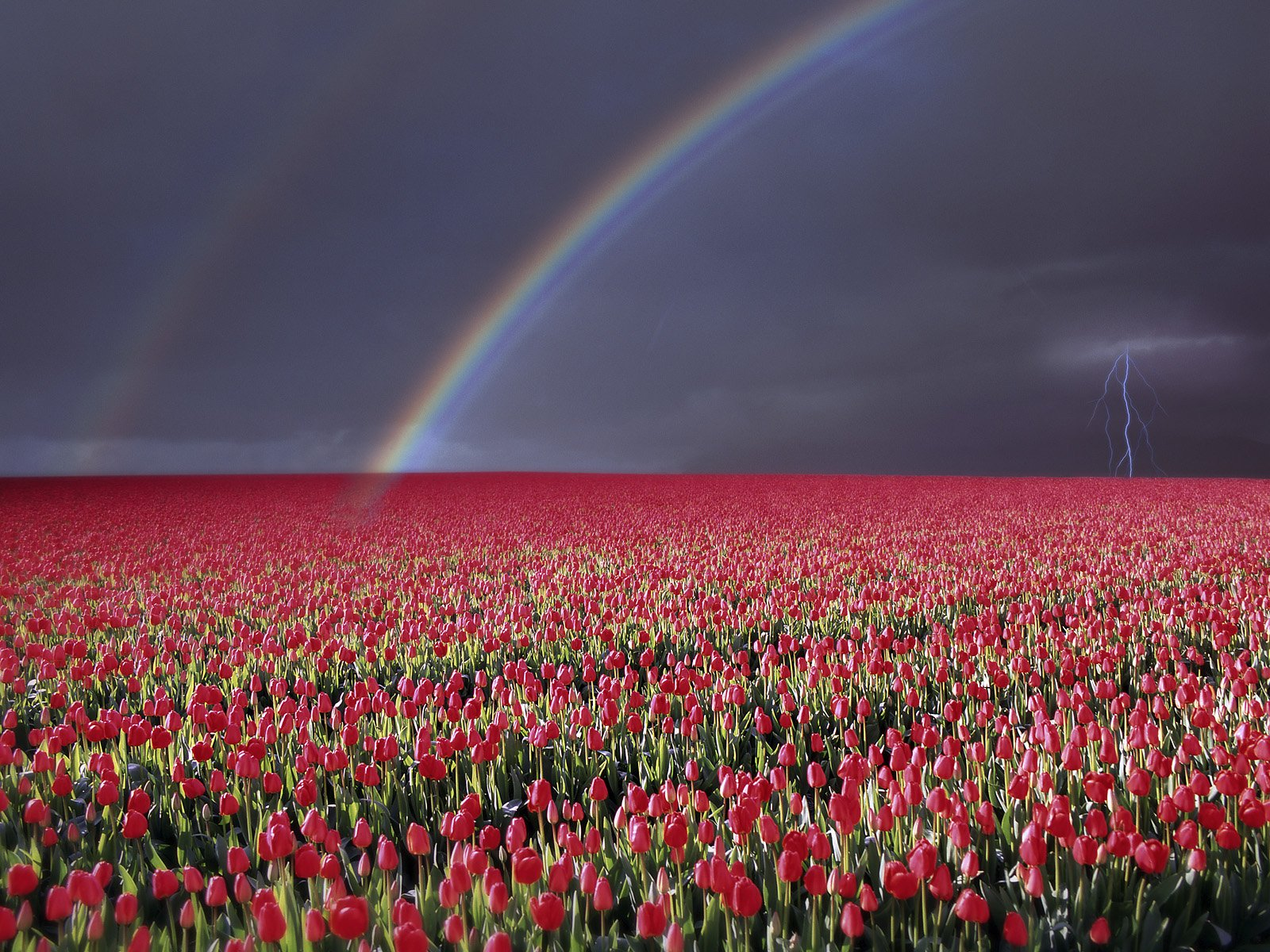 Gallery For e Tulip Field Wallpapers