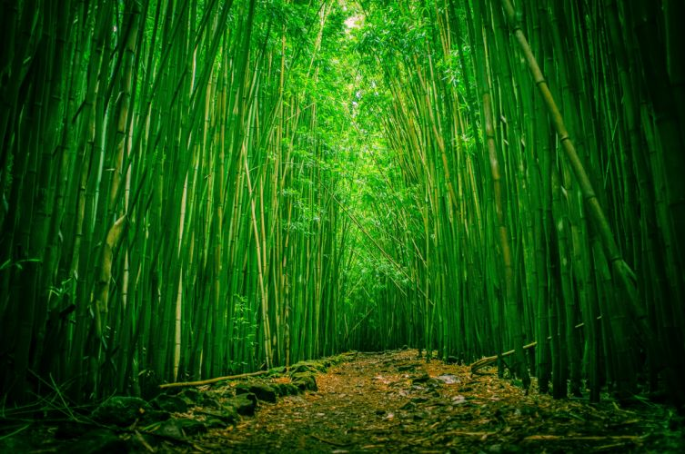 clearing bamboo wood forest wallpaper