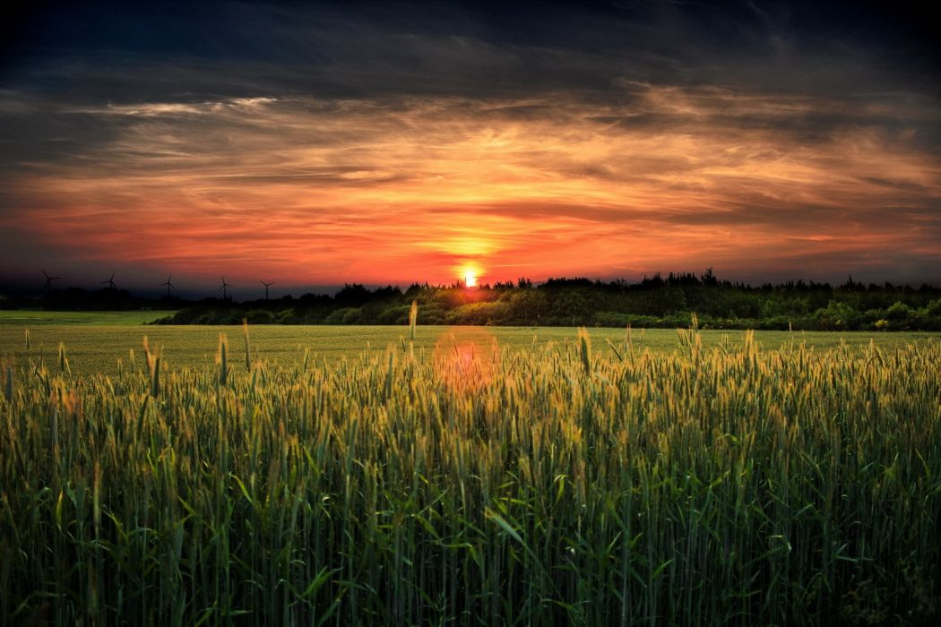 field sunset landscape wheat grass wallpaper