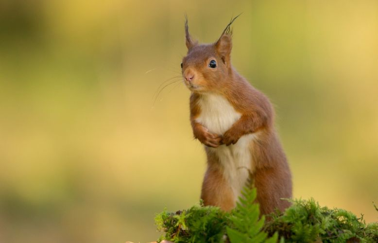 protein animal rodent squirrel wallpaper