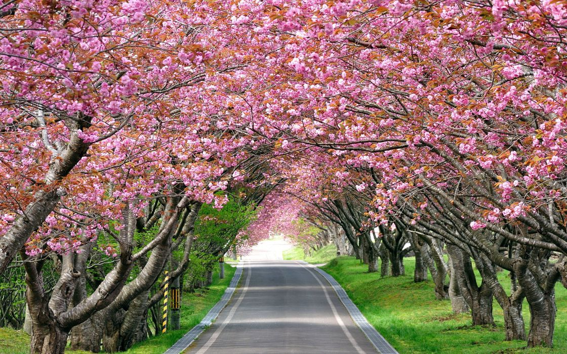 walkway landscape lane road blossoms flowers pink wallpaper