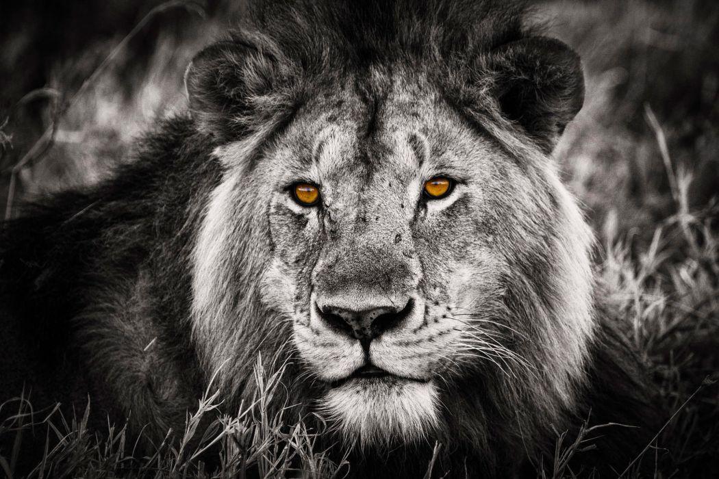 lion selective predator cat eyes wallpaper