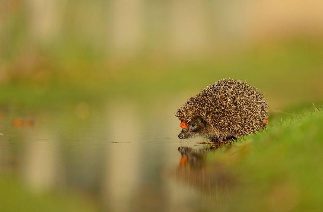 water hedgehog muzzle nose face wallpaper