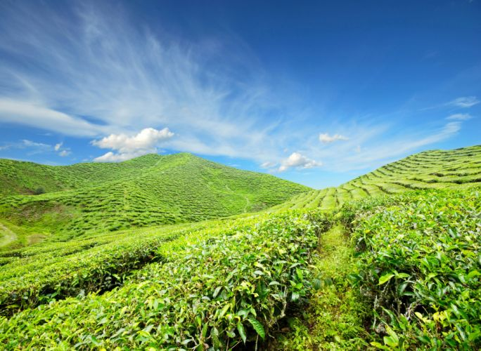 Fields Sky Scenery Tea Shrubs Nature wallpaper