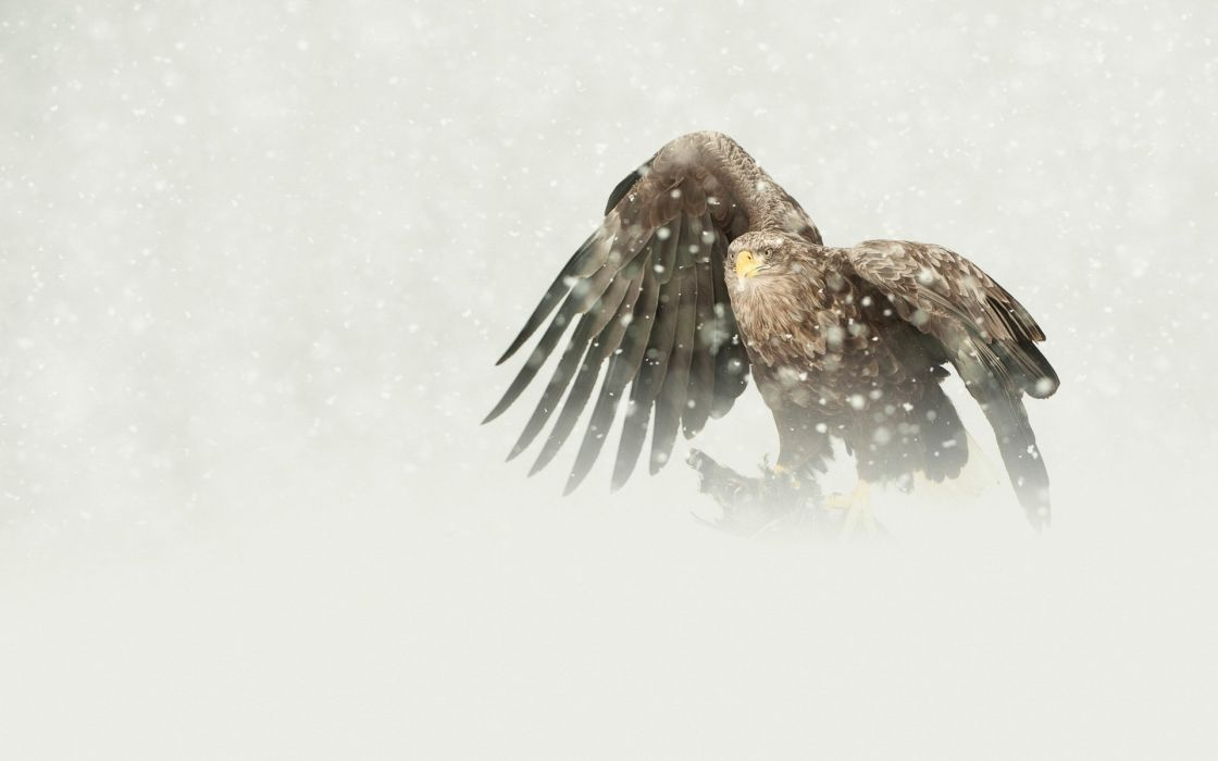 bird predator the eagle white-tailed mining snow winter wallpaper