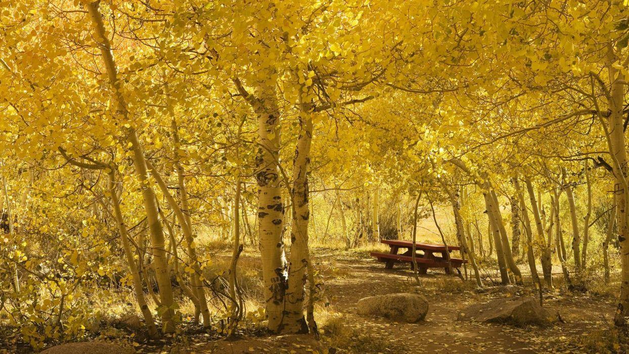 birch grove yellow leaves autumn bench wallpaper
