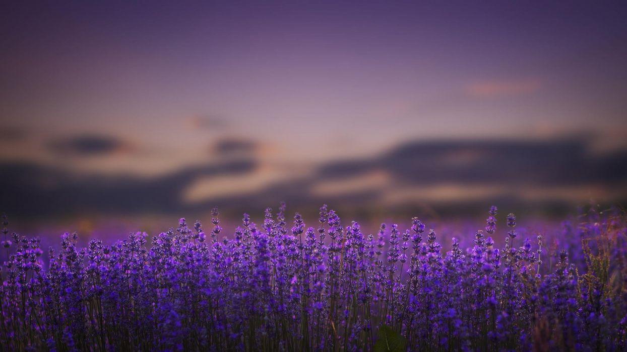 lavender flowers lilac nature bokeh wallpaper