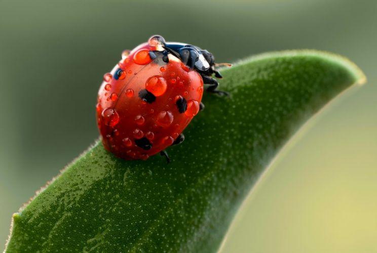 nature ladybug macro drops insects green bokeh wallpaper
