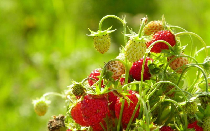 summer strawberries a bouquet berries fruit wallpaper