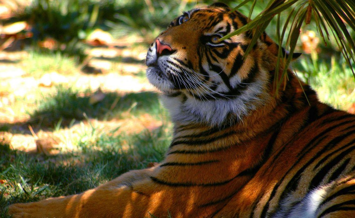 tiger predator shadow stripe rest wallpaper