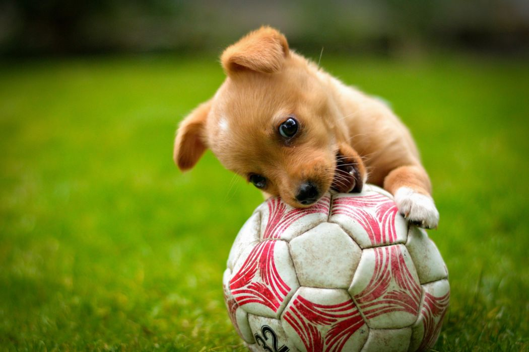 ball game red dog lawn puppy soccer wallpaper
