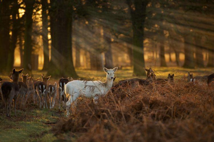 white faun deer baby forest sunset sunrise wallpaper