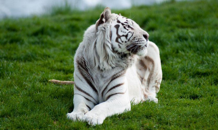 grass tiger lying white predator wallpaper