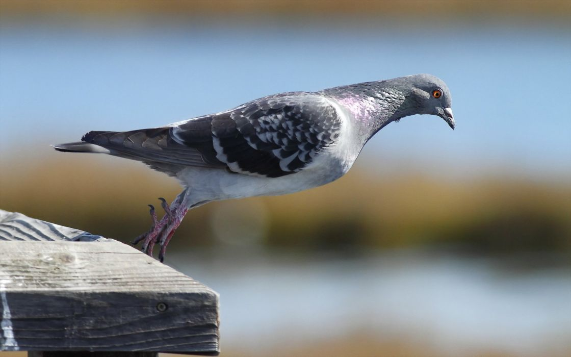 bird nature macro pigeon wallpaper