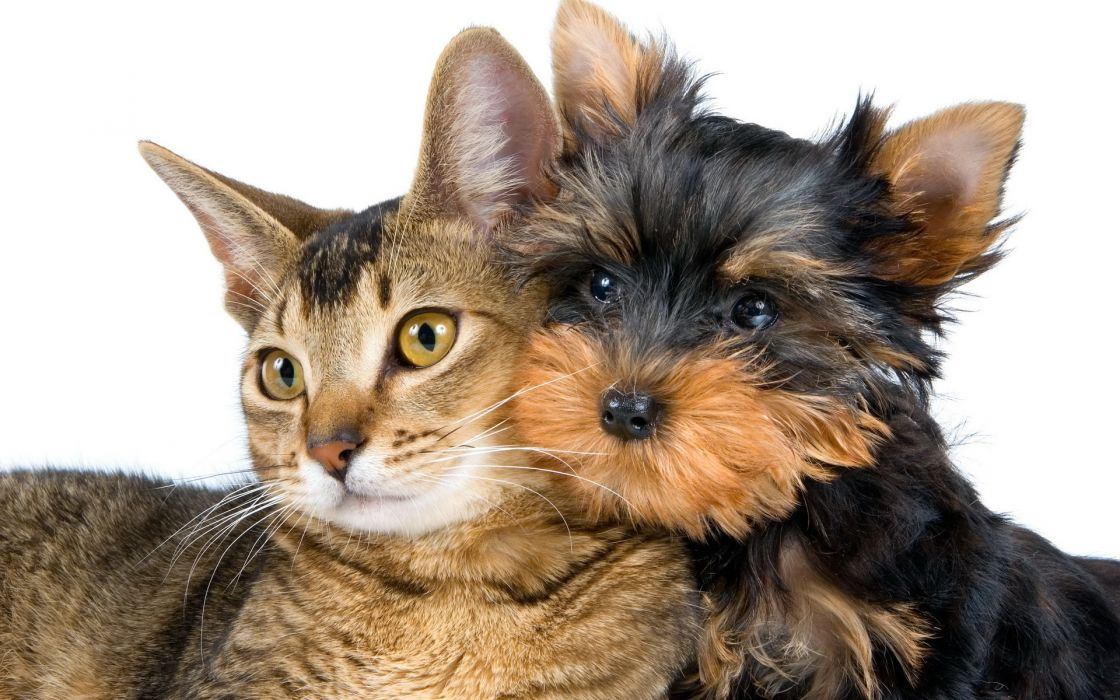 cat dog love wallpaper