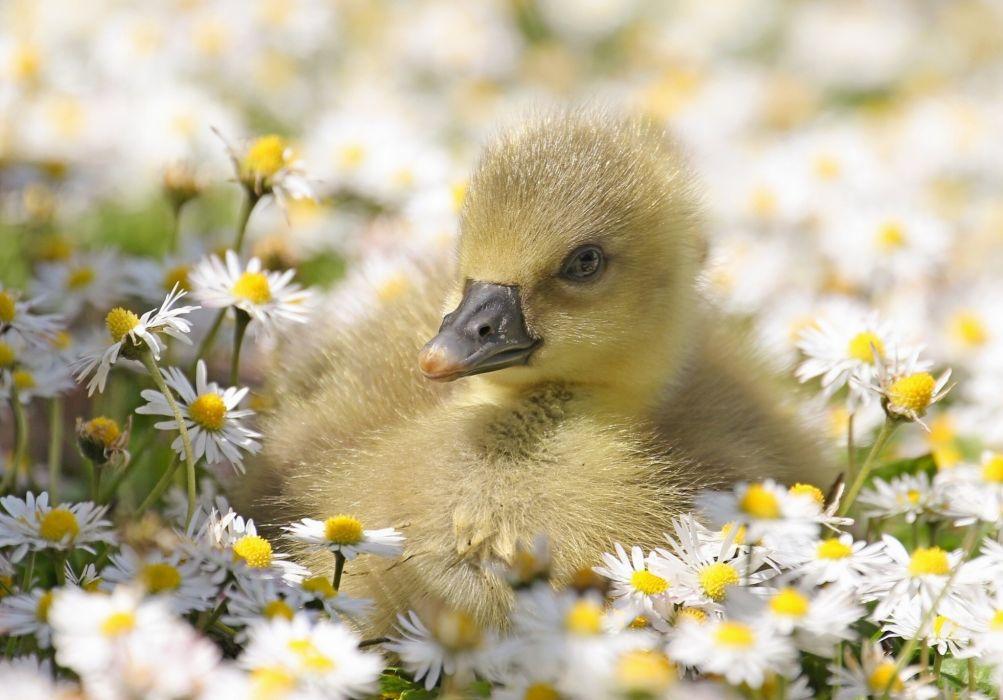 chick daisy flowers duck wallpaper