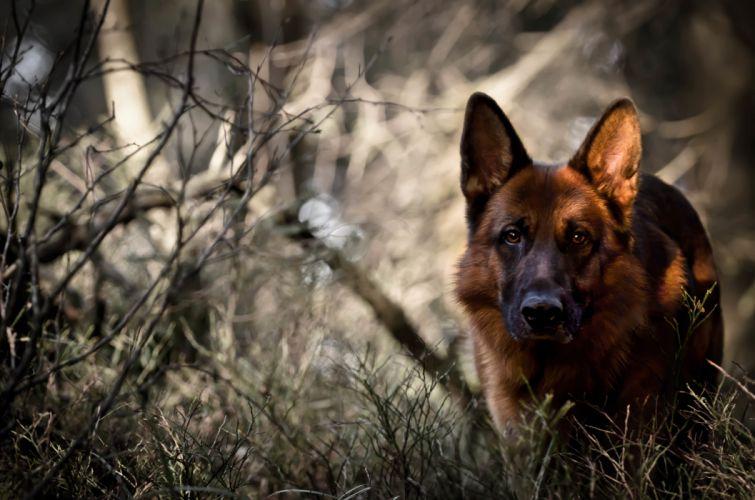 dog forest german shepherd wallpaper