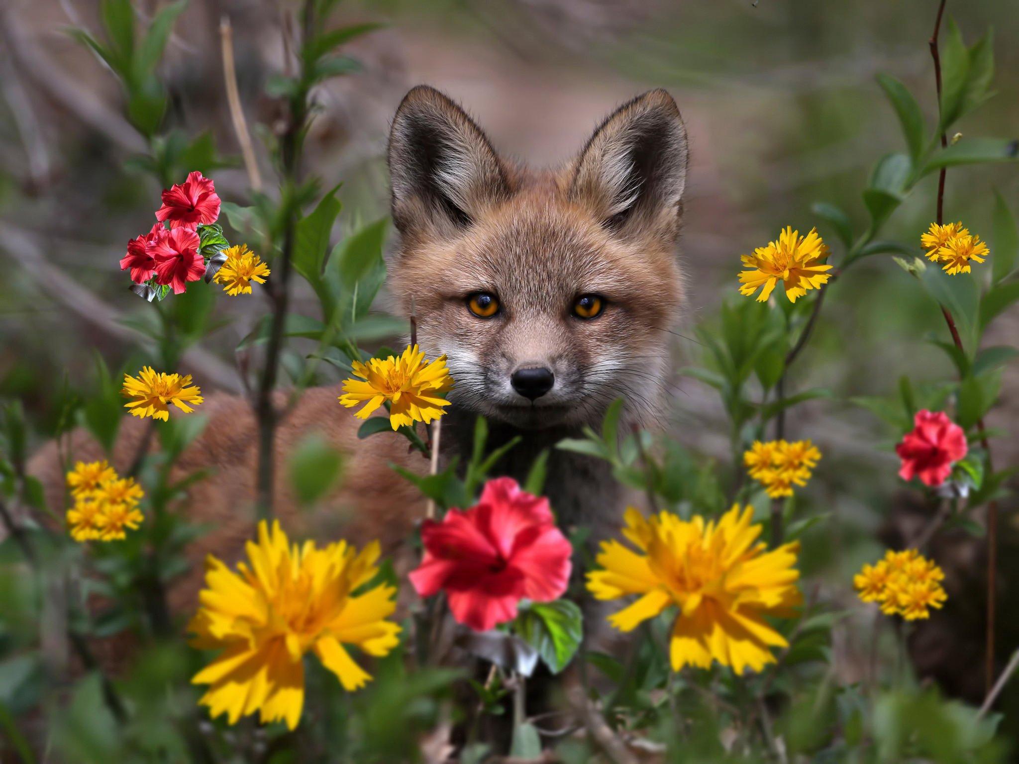 Flowers eyes fox wallpaper | 2048x1536 | 433523 | WallpaperUP