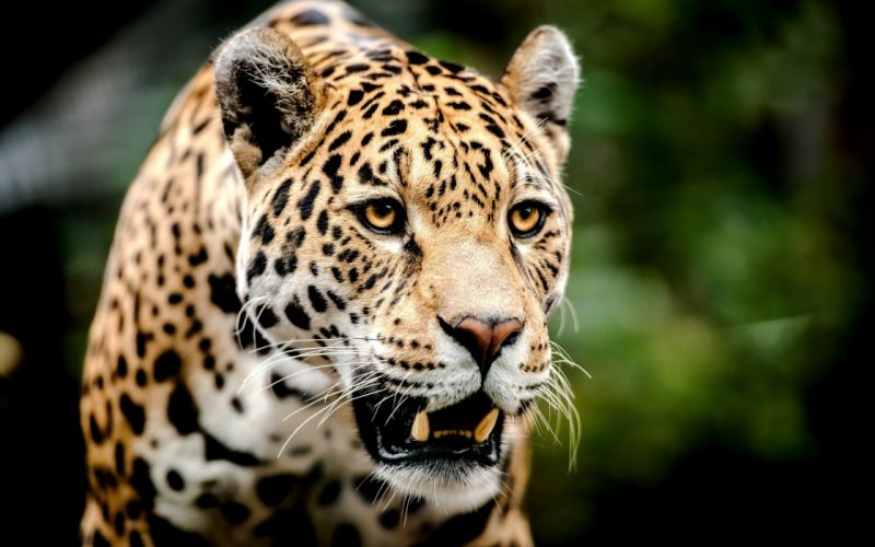 Jaguar muzzle big cat predator wallpaper