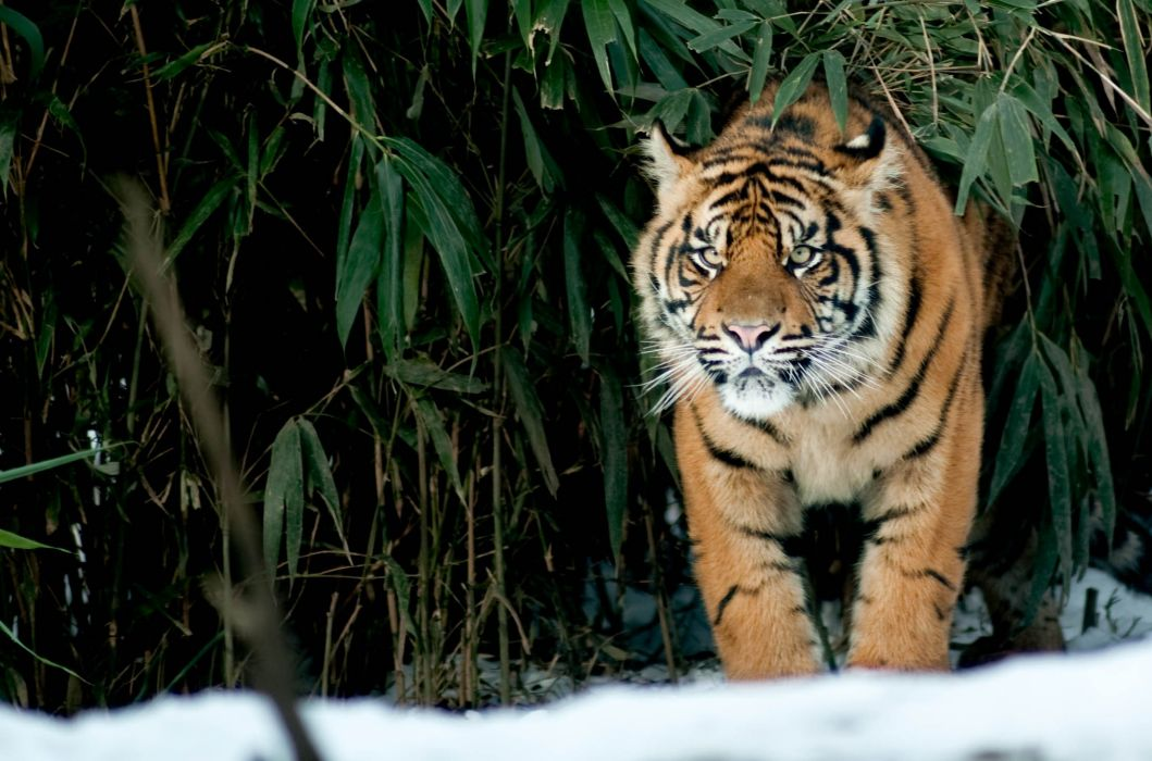 look tiger cat snow winter wallpaper