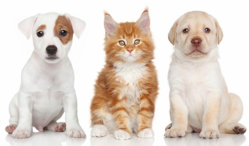 Labrador Retriever Jack Russell Terrier Maine Coon kitten puppy dog cat wallpaper