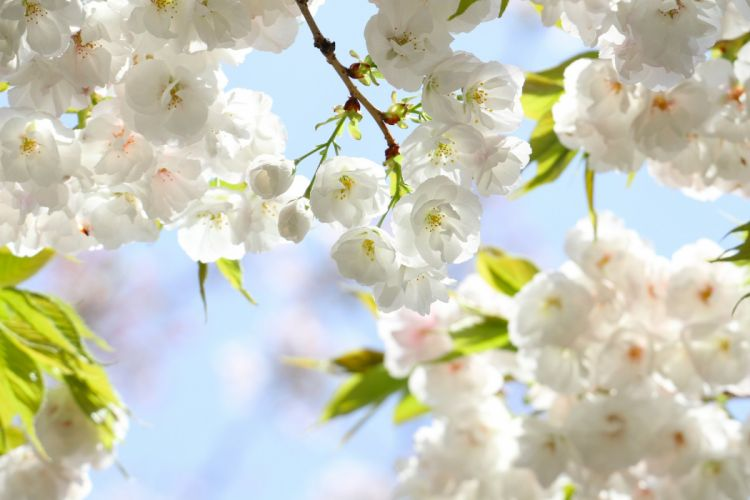 Spring flowers petals cherry branches leaves bloom blossom wallpaper