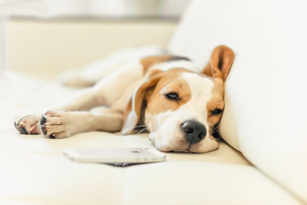 puppy beagle dog wallpaper
