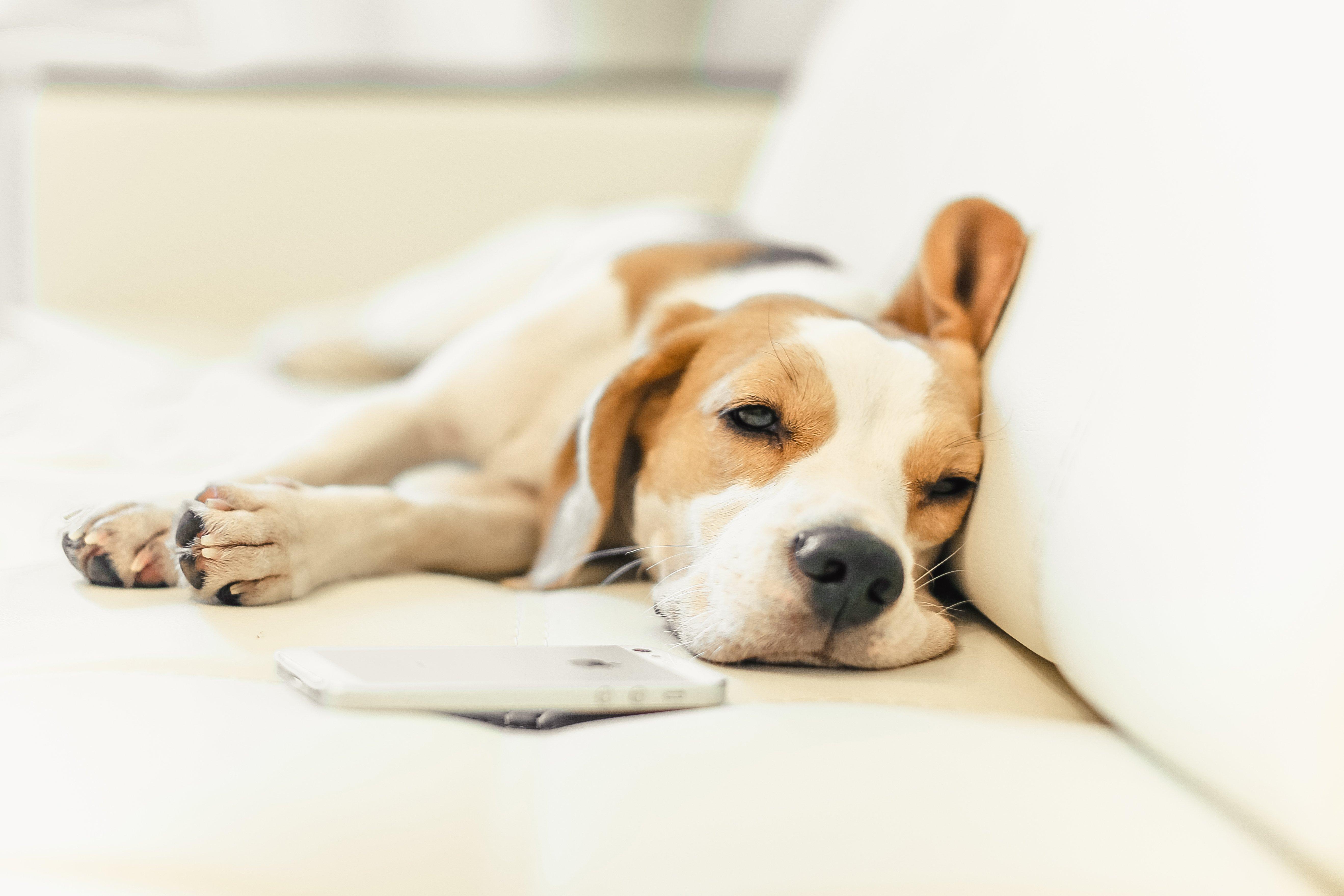 Puppy beagle dog wallpaper 5276x3517 433593 wallpaperup