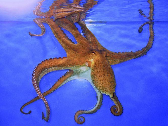 OCTOPUS sealife underwater ocean sea wallpaper