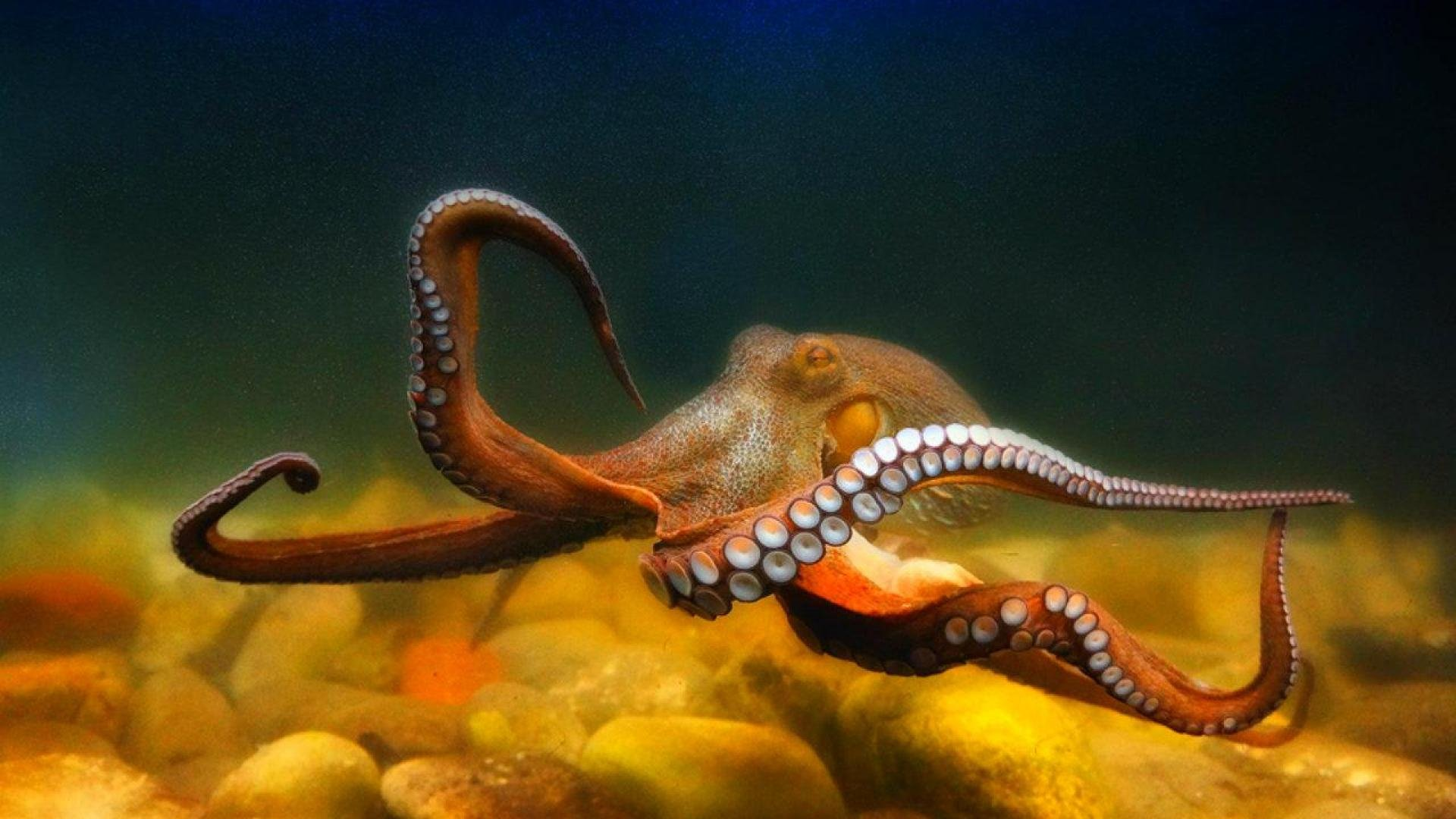 OCTOPUS sealife underwater ocean sea wallpaper backgroundUnderwater Octopus