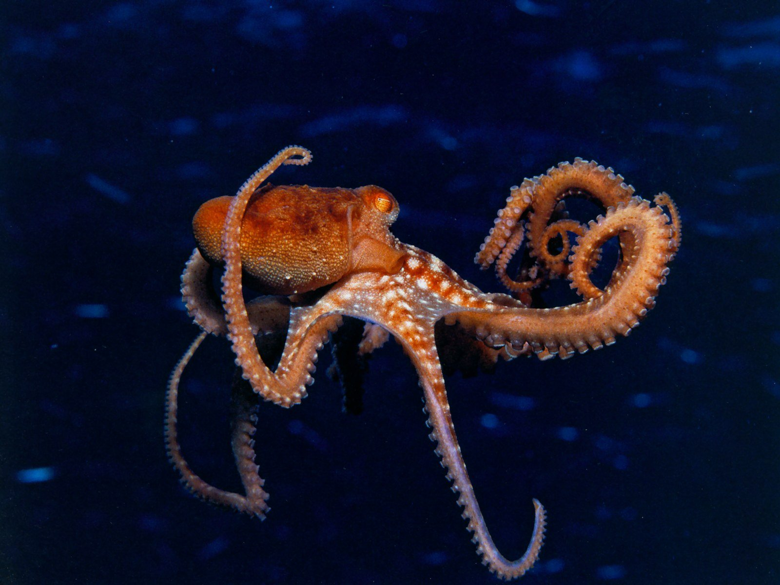 real octopus wallpaper - photo #11