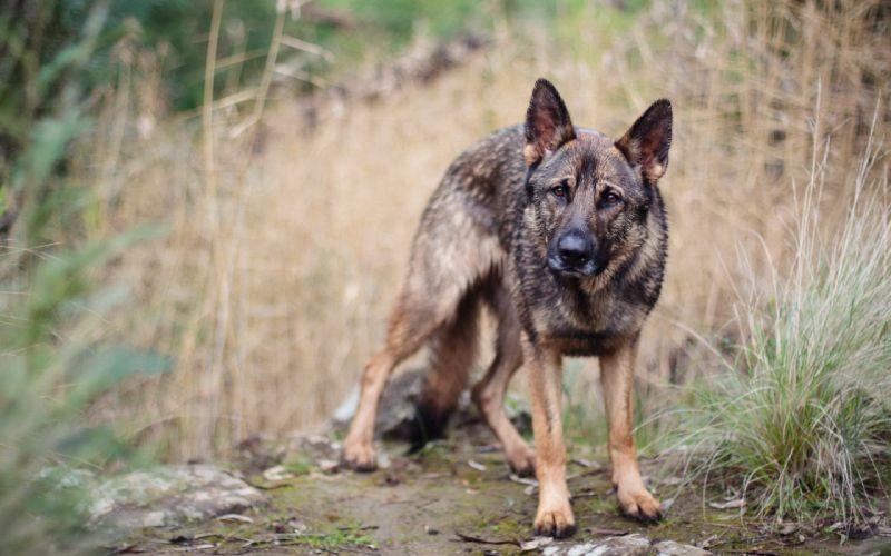 dog alone animal wallpaper
