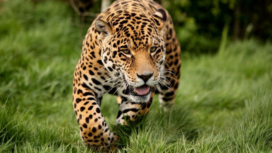 panter run predator animal wallpaper