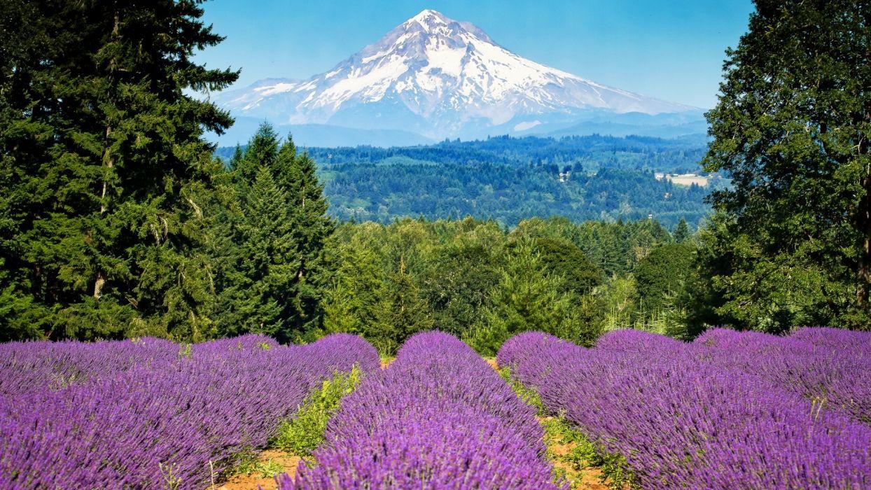 lavander nature fileds purple wallpaper