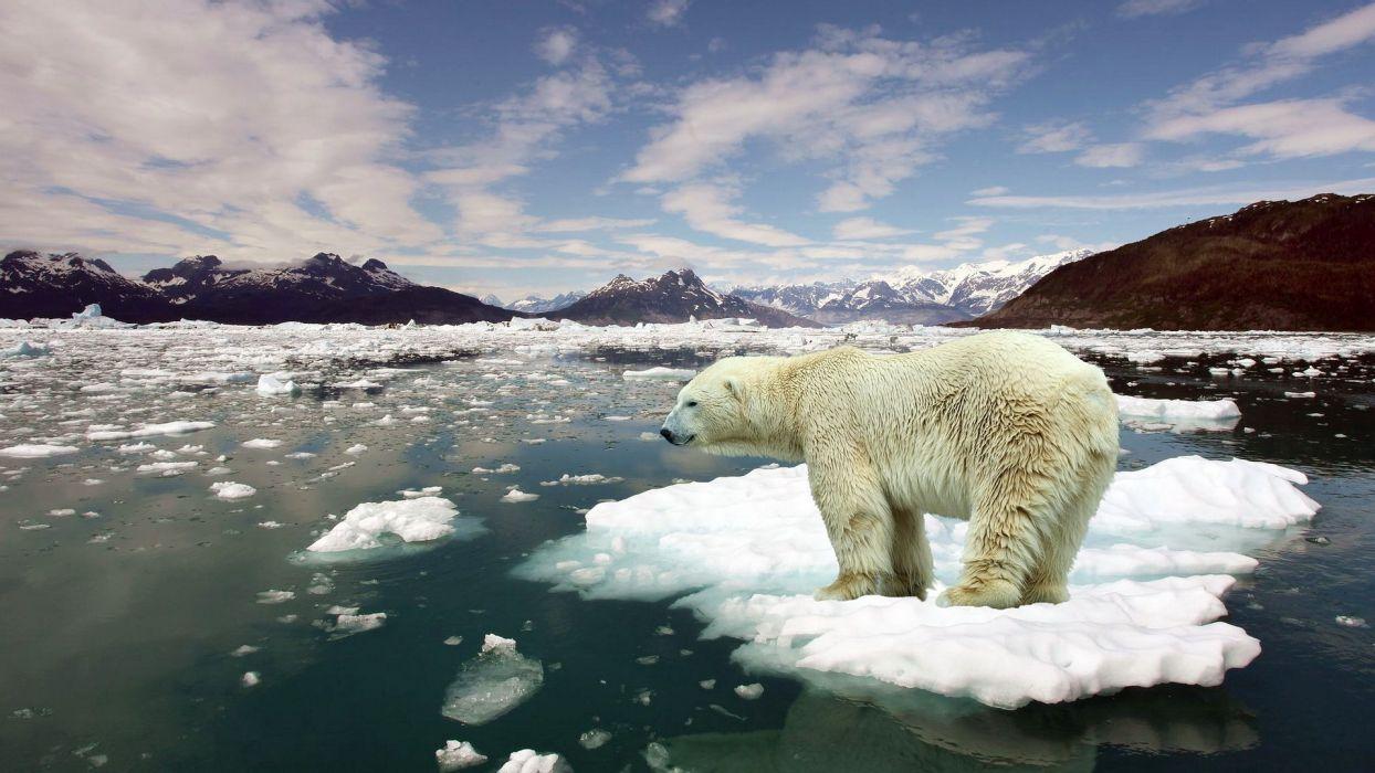 bear white nature animal ice sea wallpaper