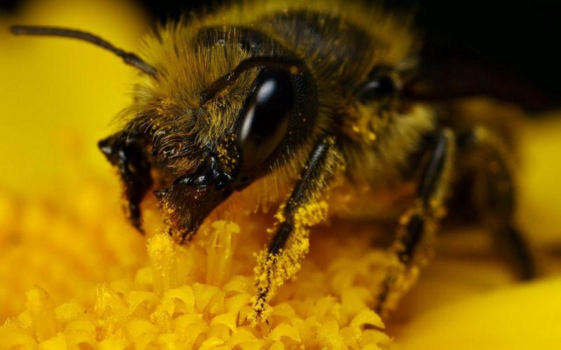 bee animal yellow macro polen flower wallpaper