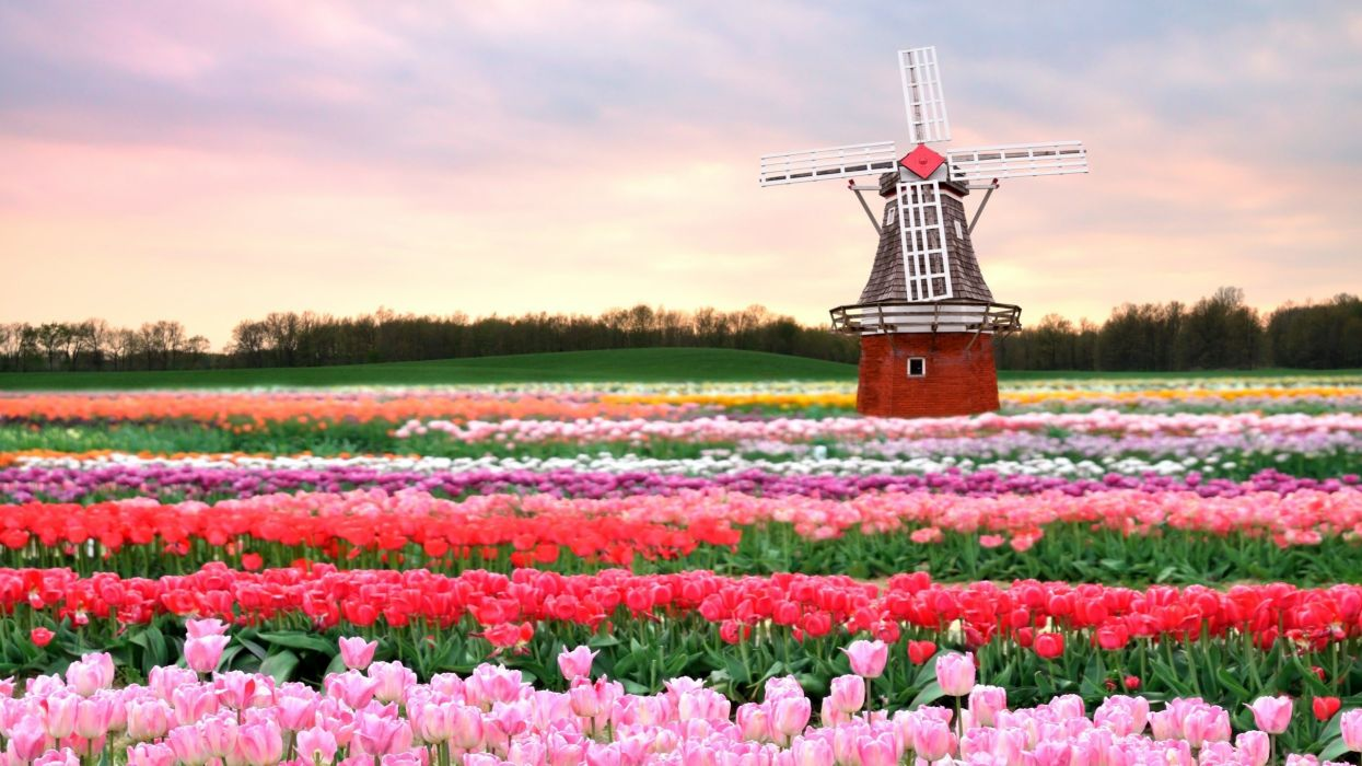 tulips flowers red pink filed wallpaper