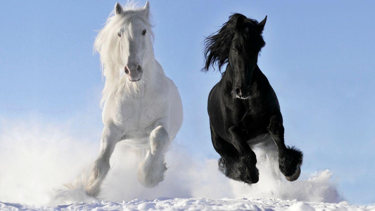 horse horses black white snow animal wallpaper