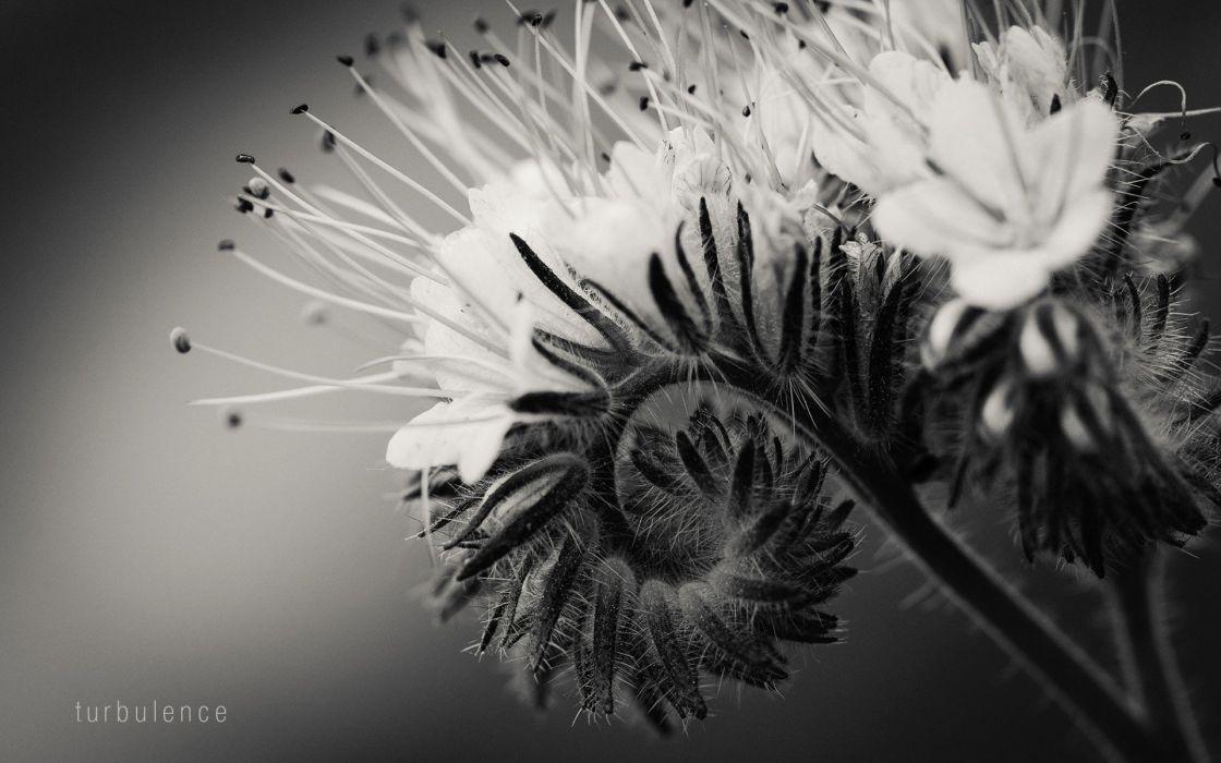 nature bw flower macro wallpaper