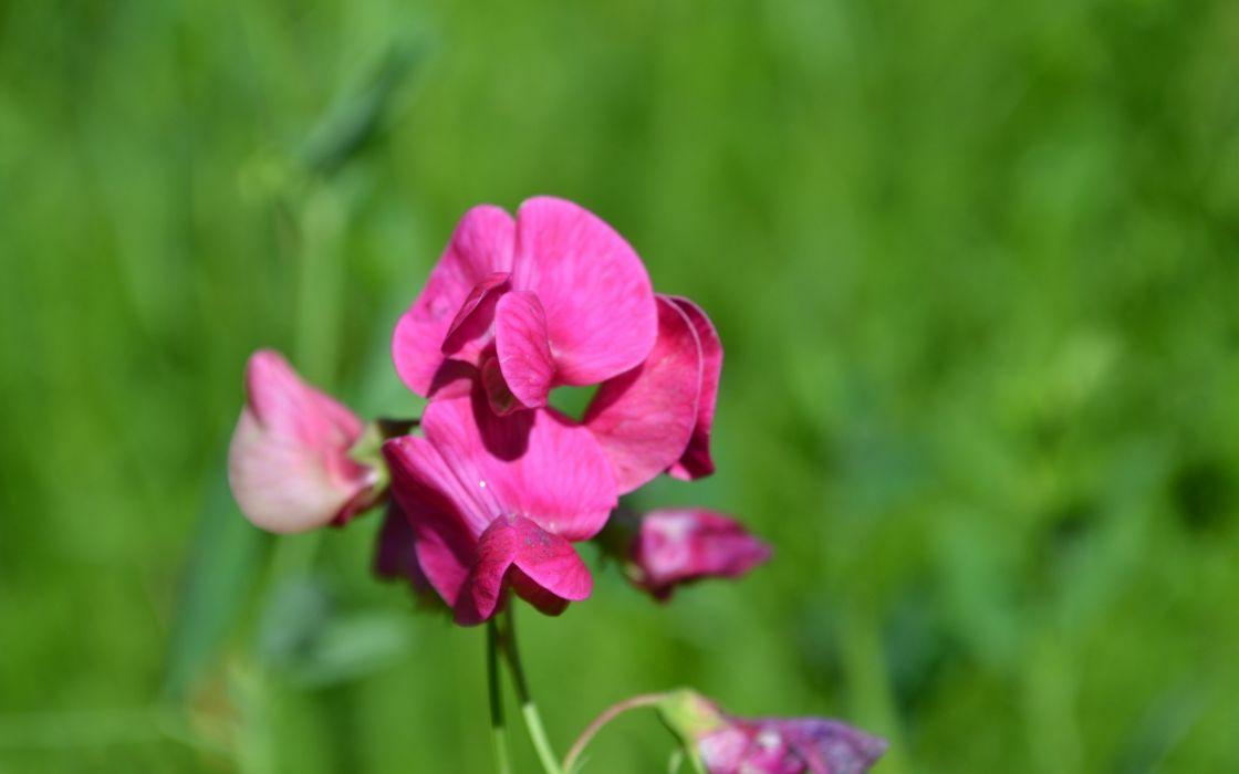 flower pink nature green grass wallpaper