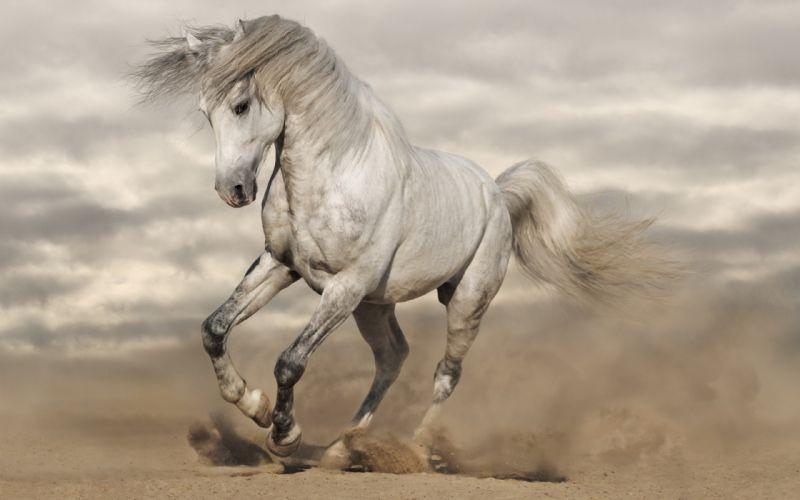 Horse white animal run wallpaper
