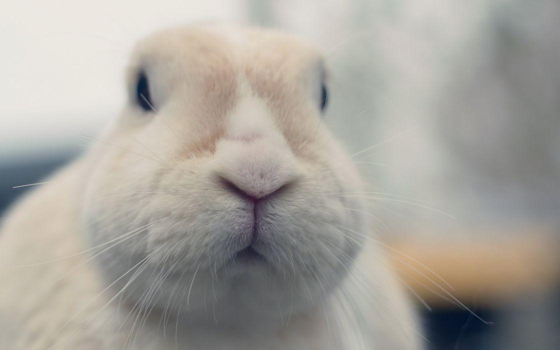 rabbit white nose sweet animal wallpaper