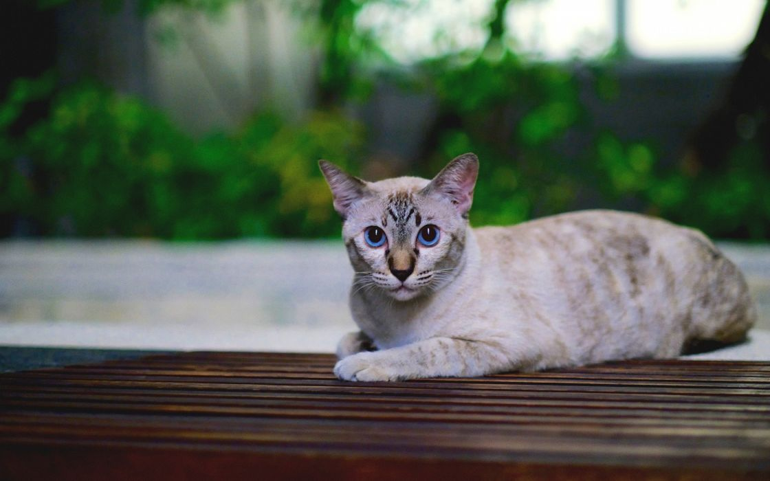 cat cats animal kitty pet wallpaper