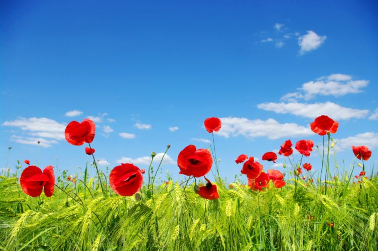 ears meadow poppies field clouds sky wallpaper