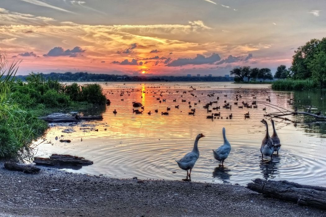 texas hdr sunset sunrise bird swan swans White Rock Lake wallpaper